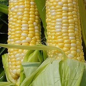 Экология и кукуруза